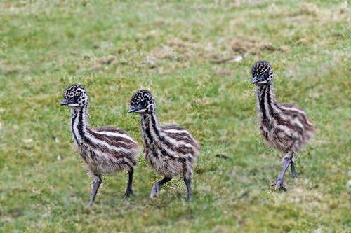 Emu Cam 2015